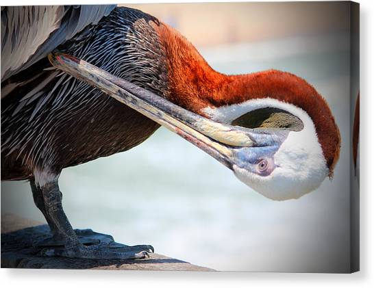 Pelican Itch Canvas Print