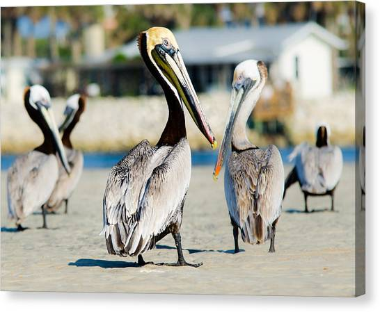 Pelican Looking At You Canvas Print