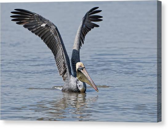 Pelican On Bayou Du Large Canvas Print by Bonnie Barry