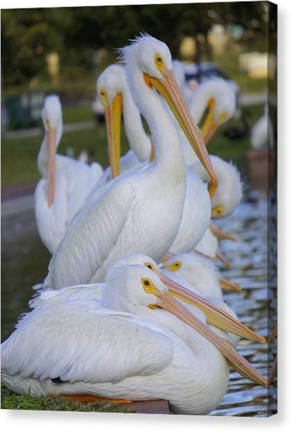 Pelican Pile Canvas Print