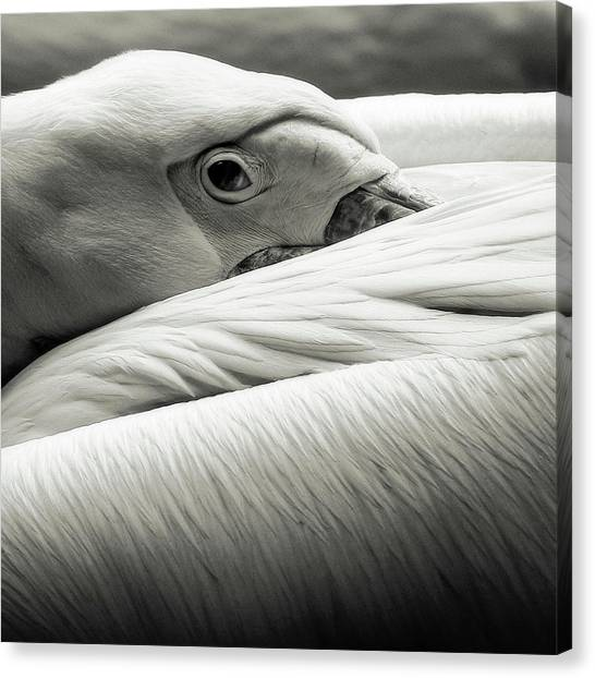 Pelicans Canvas Print - Pelican by Riccardo Berg