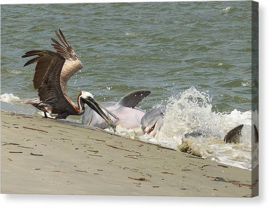 Pelican Steals The Fish Canvas Print