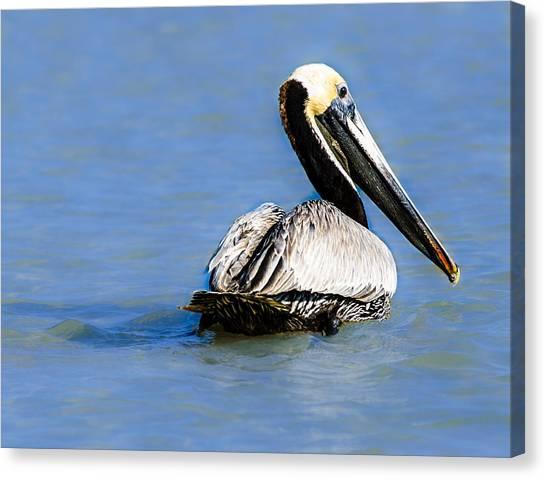 Pelican Swimming Canvas Print