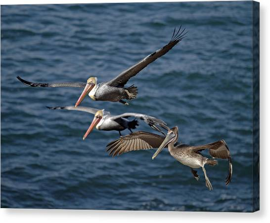Pelicans In Flight Canvas Print