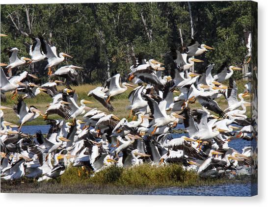 Pelicans Take Flight Canvas Print