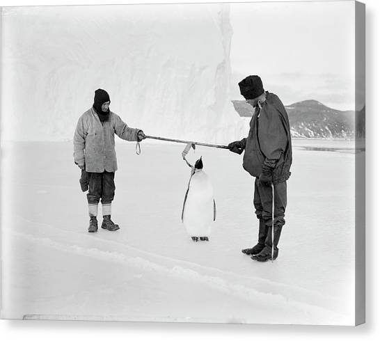Aptenodytes Forsteri Canvas Print - Penguin Research In Antarctica by Scott Polar Research Institute