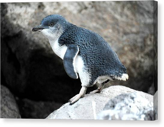 Canvas Print featuring the photograph Penguin by Yew Kwang