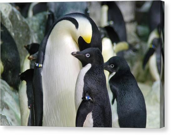 Penguins Canvas Print by Pamela Schreckengost