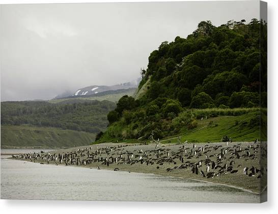 Beagles Canvas Print - Penguins Relax On A Beach by Ryan Donnell