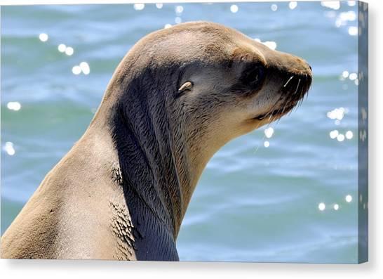 Pensive Sea Lion  Canvas Print
