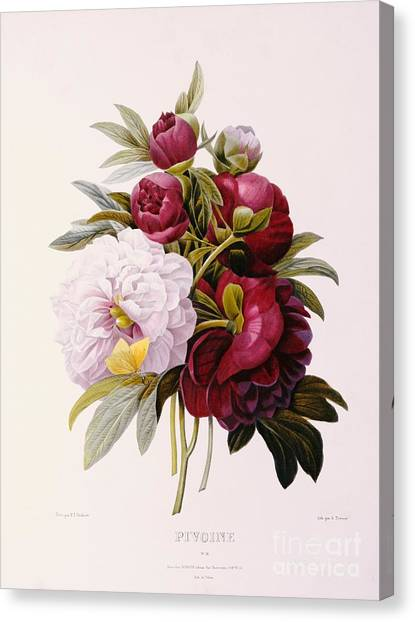 Peony Canvas Print - Peonies Engraved By Prevost by Pierre Joseph Redoute