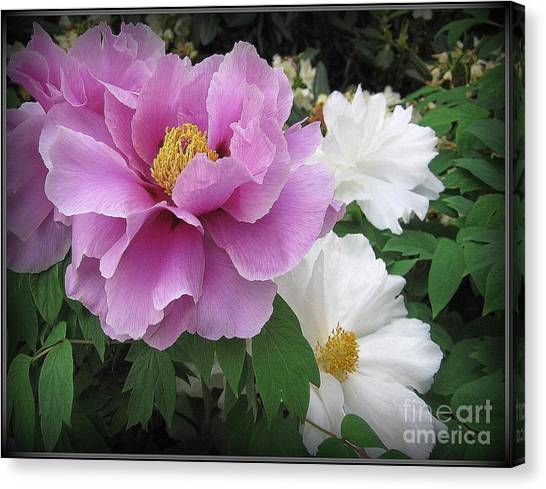 Peonies In White And Lavender Canvas Print
