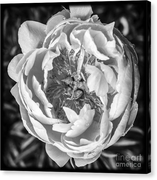 Aspect Canvas Print - Peony Flower Square Format by Edward Fielding