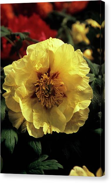 Peony (paeonia 'golden Isle') Canvas Print by Ian Gowland/science Photo Library