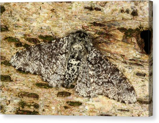 Peppered Moth Canvas Print by Nigel Downer