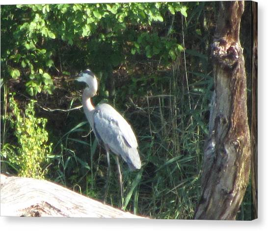 Perched Blue Heron Pondering Canvas Print by Debbie Nester