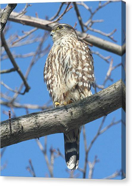 Perched Merlin Canvas Print