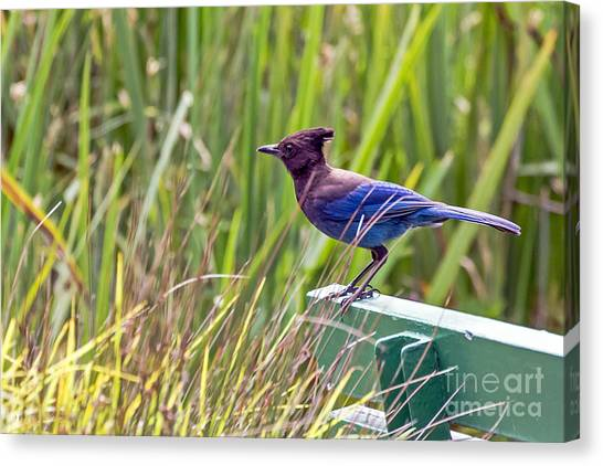 Canvas Print featuring the photograph Perching Jay by Kate Brown
