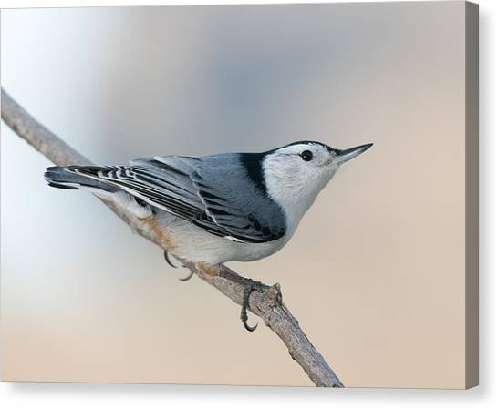 Perching Nuthatch Canvas Print