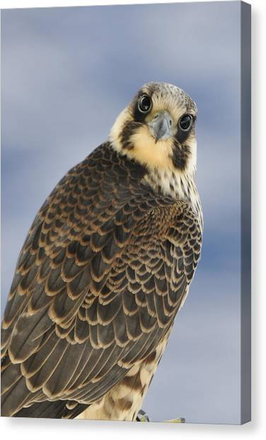 Peregrine Falcon Looking At You Canvas Print