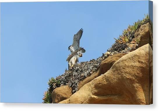 Peregrine Falcons - 3 Canvas Print