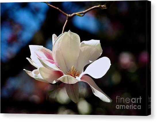 Perfect Bloom Magnolia Canvas Print