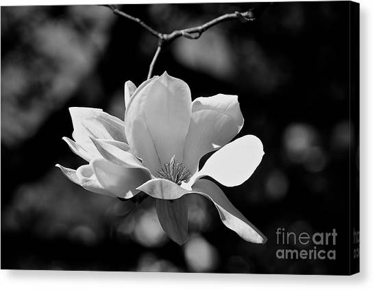 Perfect Bloom Magnolia In White Canvas Print