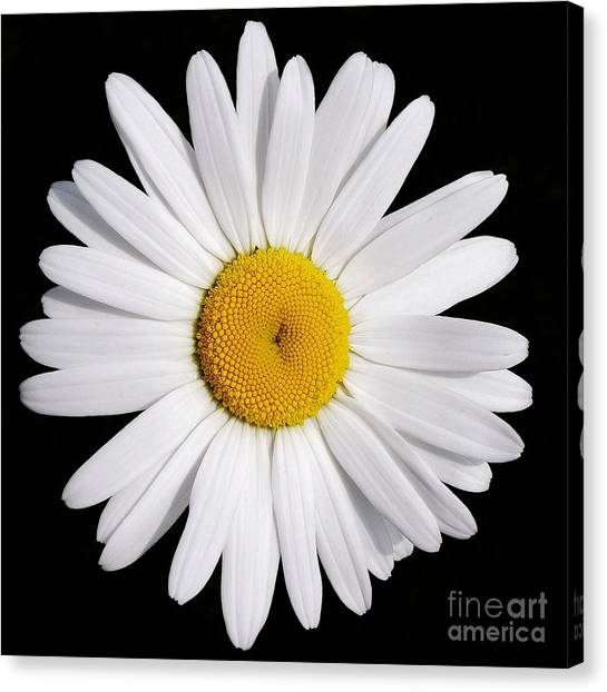 Perfectly Daisy Canvas Print
