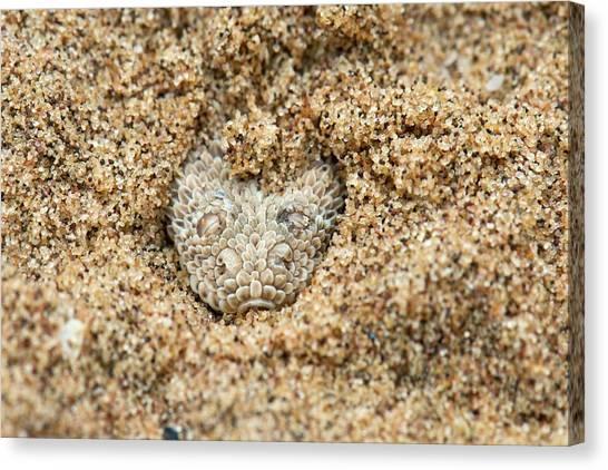 Sidewinders Canvas Print - Peringuey's Adder Submerged In Sand by Tony Camacho