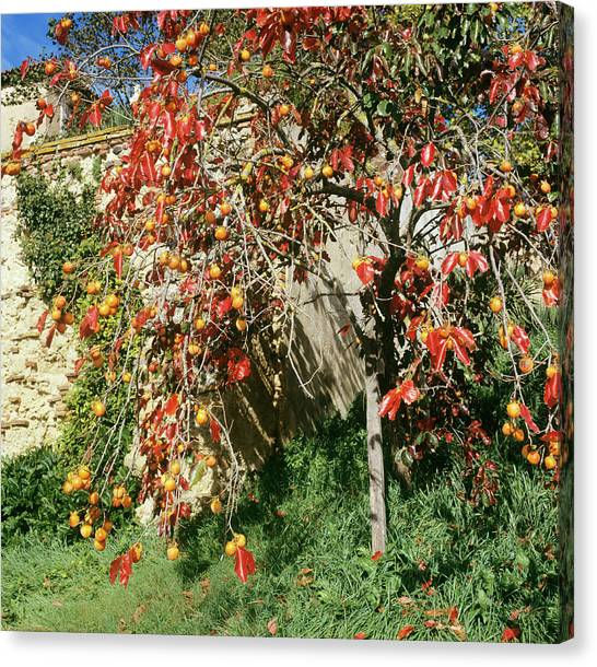 Persimmon Tree With Fruit Canvas Print by Mark De Fraeye/science Photo Library