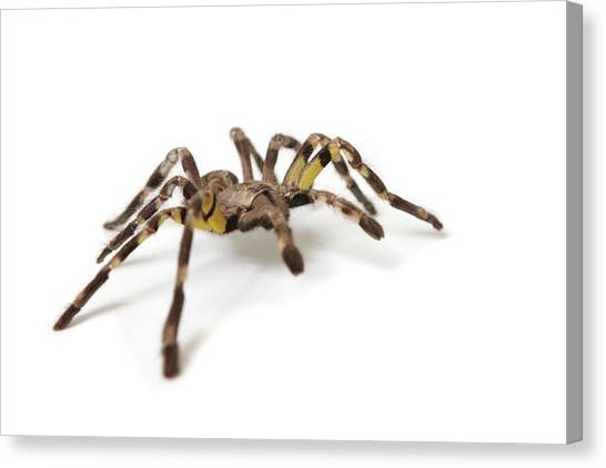 Knockout Canvas Print - Pet Tarantula Spider by Photostock-israel/science Photo Library