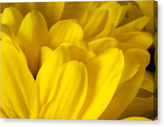 Petals Of A Yellow Daisy Canvas Print by S Cass Alston