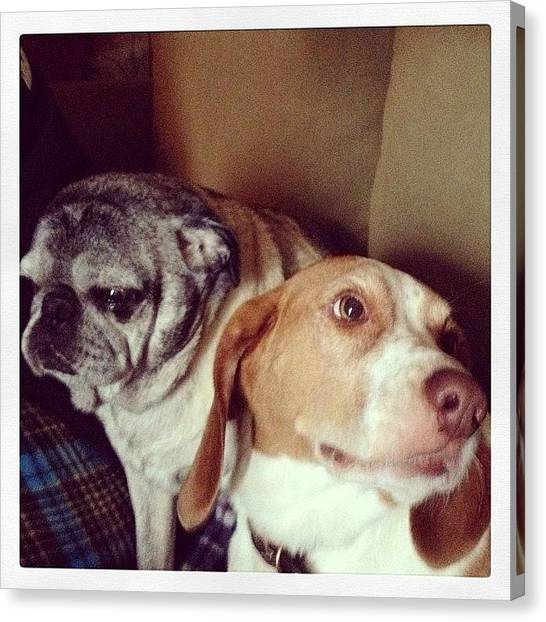 Pugs Canvas Print - Peter & Boomer 💕 #puppies #grumpydog by Katrina A