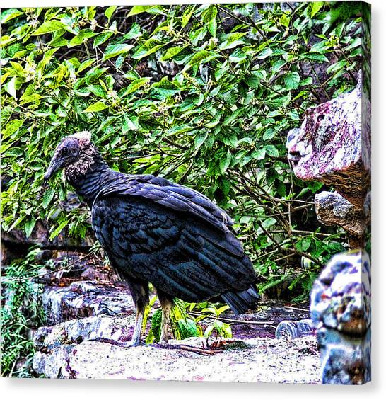 Petitjean Vulture Canvas Print by Joe Bledsoe