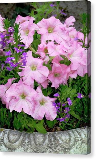 Petunia X Hybrida 'pink Lady' Canvas Print by Brian Gadsby/science Photo Library