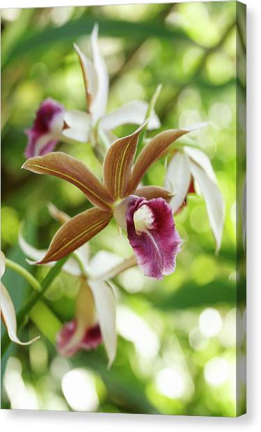 Nuns Canvas Print - Phaius Tankervilleae Flowers by Dan Sams/science Photo Library