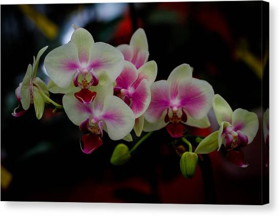 Phalaenopsis Pink Orchid Canvas Print by Donald Chen