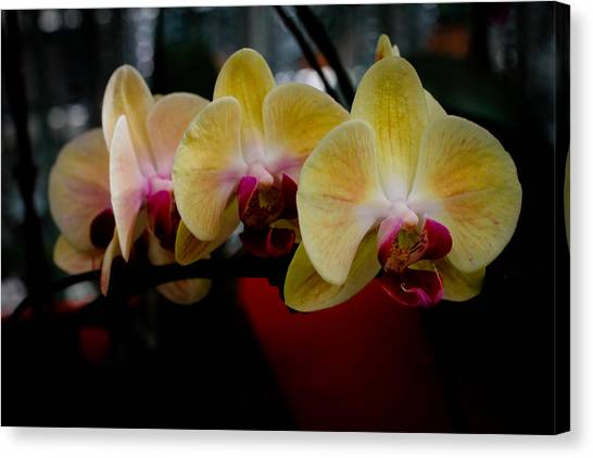 Phalaenopsis Yellow Orchid Canvas Print by Donald Chen