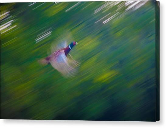 Pheasant Flight Canvas Print