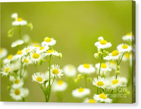 Philadelphia Fleabane Wildflowers In Soft Focus Canvas Print