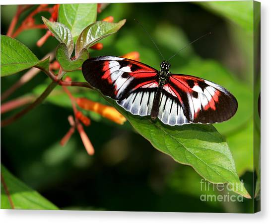 Piano Key Butterfly On Fire Bush Canvas Print