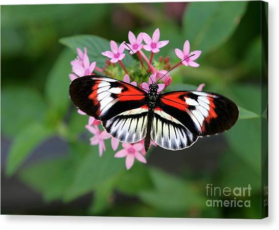 Piano Key Butterfly On Pink Penta Canvas Print