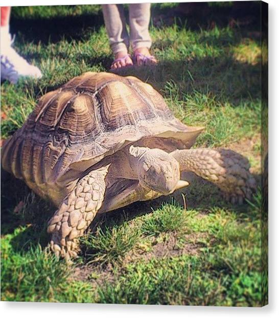 Tortoises Canvas Print - #picoftheday #photooftheday #camping by Shane Gabriel