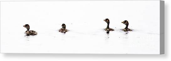 Pied-billed Grebe Babies Canvas Print