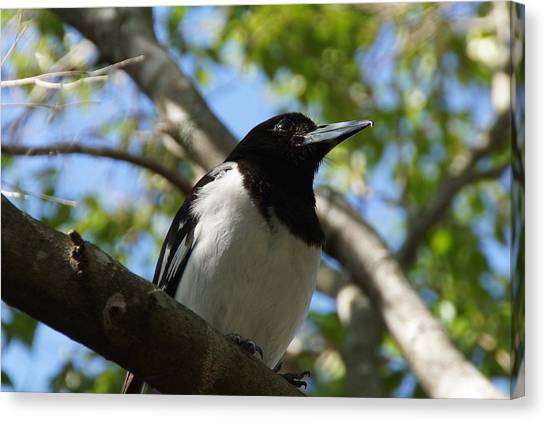 Pied Butcher Bird Canvas Print by Dani Katz