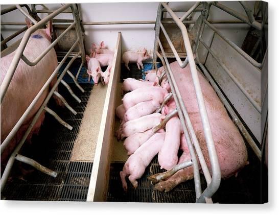 Pig Farms Canvas Print - Pig Farming by Jim Varney/science Photo Library