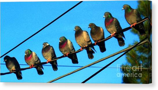 Pigeon Beauty Pageant  Canvas Print