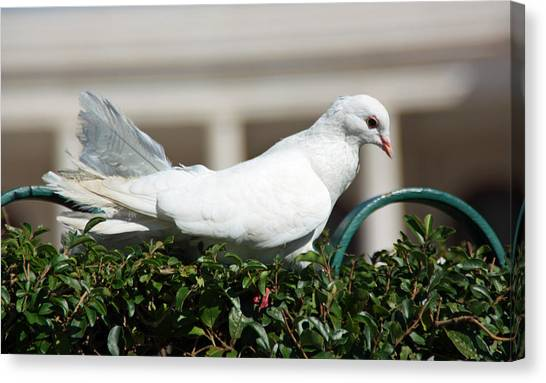 Pigeon Canvas Print by Dave Dos Santos