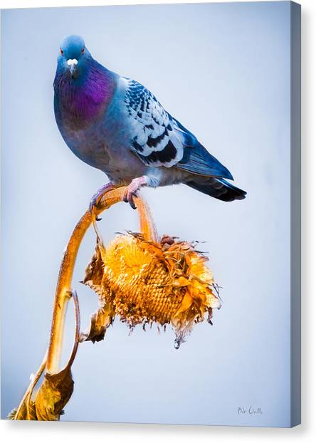Pigeon Canvas Print - Pigeon On Sunflower by Bob Orsillo