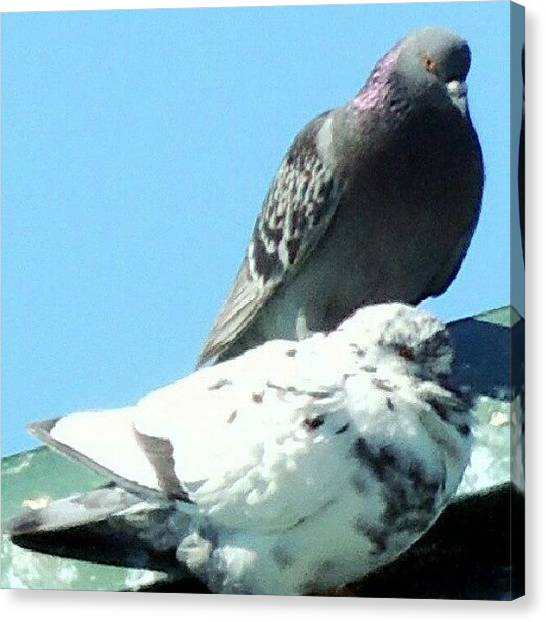 Foul Canvas Print - Pigeons by Kelli Stowe